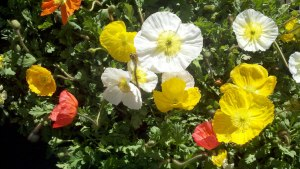 Anemones-Windflower-Poppy-Feb-2013