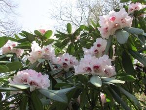 Coriaceum 革叶杜鹃 Rhododendron