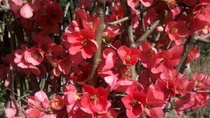 Flowering-Quince-Feb-2013-2