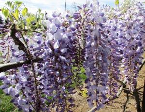 Purple Wisteria vine (Fabaceae)