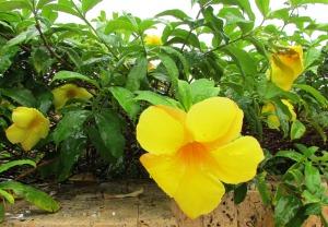 Trumpet yellow, Cathartic Allamanda 'Apocynaceae'