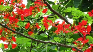 Delonix regia Flamboyant 'Fabaceae'