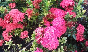 Maltese Cross 'Ixora coccinea'