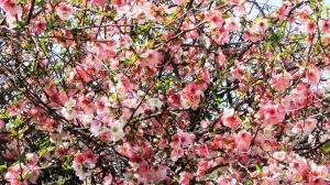 Pink Quince blossoms
