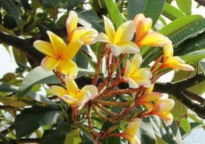 Plumeria; Frangipani Apocynaceae (Yellow)