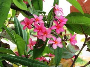 Plumeria; Frangipani Apocynaceae (Pink)