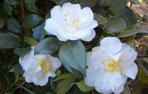 Camellia 'Silver Anniversary' (japonica)