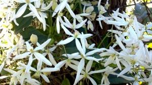 White Clematis (Ligusticifolia)