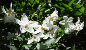 Potato Vine blossoms