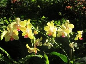 Orchid 'dendrobium'