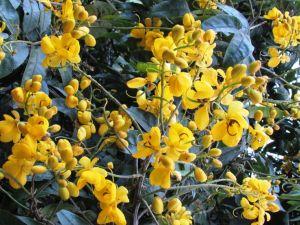Senna bicapsularis 'Rambling Cassia'