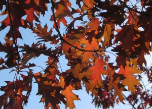 Northern Red Oak 'Quercus rubra'