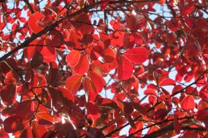 Cotinus 'Grace' (Smoke bush)