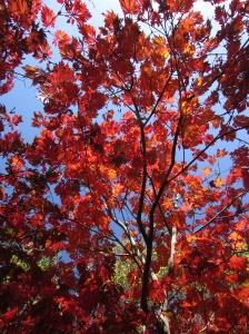Day 9 ~ Acer japonicum Aconitifolium en automne - Sebastopol, CA