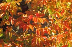 Nyssa sylvatica 'Autumn Cascades' Weeping Tupelo