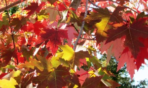 October Glory Red Maple 'Acer rubrum'