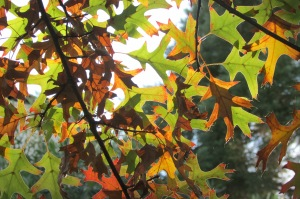 Pin Oak 'Quercus palustris'