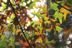 Pin Oak 'Quercus palustris'