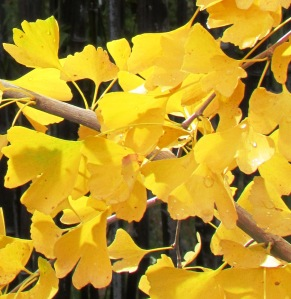 Yellow Gingko