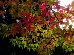 Liquidambar 'styraciflua', American Sweetgum tree