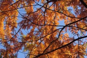 Dawn Redwood 'Metasequoia Glyptostronoides'