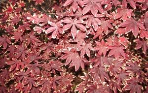 Day 20~ Bloodgood Japanese Maple 'Acer Palmatum' イロハ 紅葉