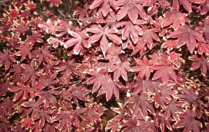 Day 20~ Bloodgood Japanese Maple 'Acer Palmatum' イロハ 紅葉