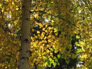 White Birch 'Betula papyrifera'— San Rafael, CA Marin County