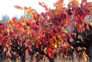 Zinfandel Grape vineyard 'Vitis' — Geyserville, CA Sonoma County