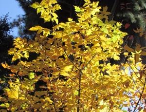 Box Elder 'Acer negundo' — Penngrove, CA Sonoma County