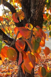 Persimmon Hachiya' 蜂屋 tree 'Diospyros'