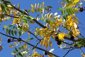 California Black Walnut 'Juglans nigra' — Windsor, CA