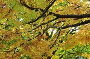 Cherry Bark Elm 'Ulmus villosa'