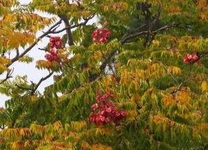 Golden rain tree 'Koelreuteria paniculata