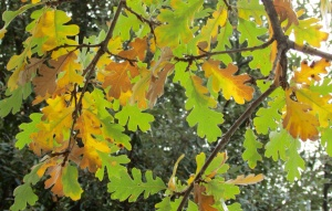 Common Oak 'quercus robur'