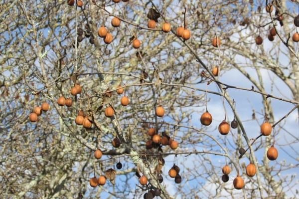 "Handkerchief tree ""Davidia involucrata"""