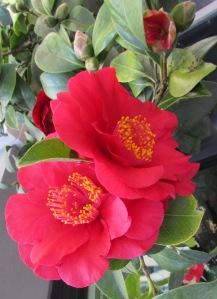Camellia Japonica #1 ~ January Winter blossoms, Petaluma CA