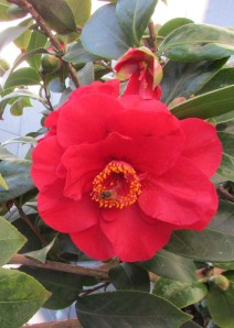 Camellia Japonica with busy bumble bee