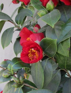 Camellia Japonica and bumble bee pollinating blossoms.