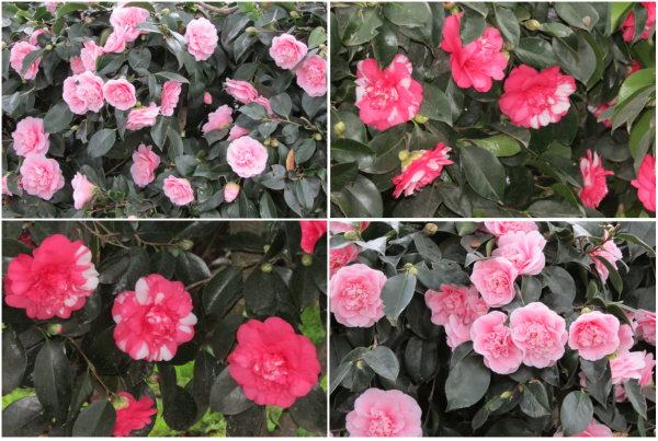 Camellia Japonica, large double pink and Camellia Charlean variegated, large pink/red, white-blotched blossoms.