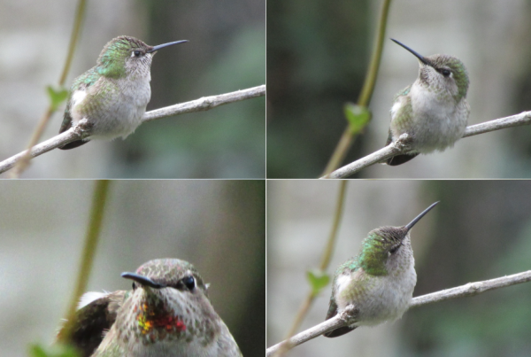 Hummingbirds, Sonoma County