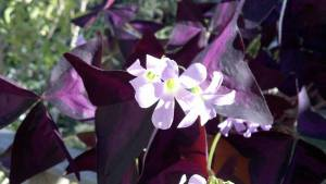 Purple Shamrocks, 'Oxalis'