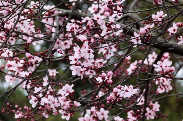 Pink Cherry blossoms - Sonoma County