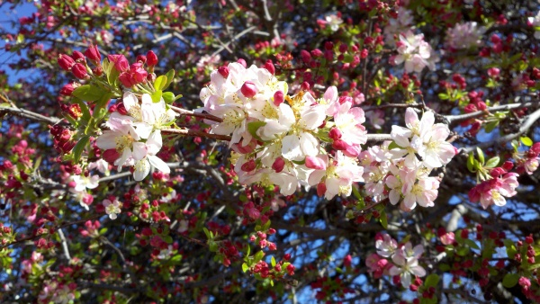 Crabapple, Malus blossoms, Sonoma County