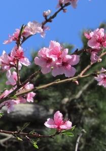 Peach blossoms 桃の花 - Sonoma County CA.