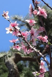 Peach blossoms 桃の花 - Sonoma County CA