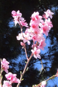 Peach blossoms 桃の花, Petaluma, CA