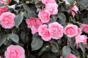 Camellia japonica double pink