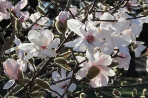 White Star Magnolia Stelleta