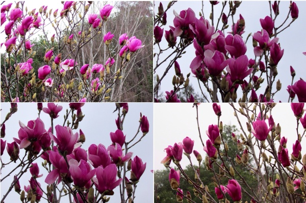 Purple Saucer Magnolia blossoms